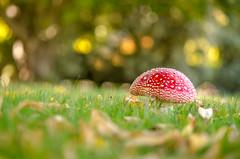 Autumn Magic... (glendamaree) Tags: autumn red macro nature mushroom magic fungi toadstool shrooms nikond7000
