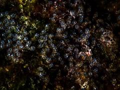 P3276250 (Jeannot Kuenzel) Tags: leica blue sea macro water port photography islands la mediterranean underwater alien under deep scuba diving canarias olympus malta el zen canary supermacro moods asph islas f28 45mm underwaterworld s2000 dg gomera 240z hierro underwaterphotography extrememacro ois jeannot inon macroelmarit underwatercreature kuenzel z240 maltaunderwater underwatermacro underwateralien supermacrophotography ucl165 wwwjk4unet jk4u epl5 maltaunderwatermacro maltaunderwaterphotography bestmaltaunderwaterpictures maltamacro maltascubadiving underwatersupermacro jeannotkuenzel aliensofthedeepblue superextrememacro aliensofthesea