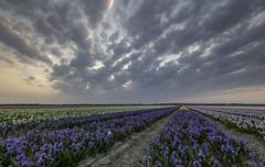 Dutch field (hetty m) Tags: sunset flower colors hyacinten bollenveld zijpe norrdholland bloeiendzijpe