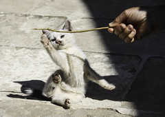En perte d'quilibre (losing one's balance) (Larch) Tags: game cute animal switch kitten hand main greece crete stick balance grce stretching monastre jeu monastry chaton crte equilibre craquant tirement badine