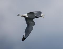 Black-legged Kittiwake (Rissa tridactyla) (mesquakie8) Tags: bird alaska adult gull landsend homer blackleggedkittiwake rissatridactyla 1149 blki kenaipeninsulacounty flyingandscreaming