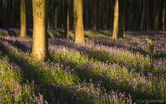 Ivy (Sue MacCallum-Stewart) Tags: trees bluebells woodland landscape shadows earlymorning wephamwood