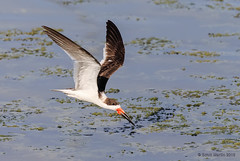 Skimmer Viera 2016_0159 (sugarzebra) Tags: bird canon inflight florida flight wetlands avian skimmer blackskimmer vireo skimming 1dx