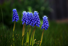 Grape hyacinth (Ali Parandeh) Tags: flowers blue ontario canada flower macro green nature grass canon spring backyard dof zoom bokeh april grape hyacinth 70d 1585 1585mm