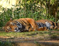Tiger III (Photato Jonez) Tags: orange color alex nature zoo dc washington nikon day stripes national d3300