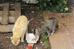 IMG_0341 (pcolmena) Tags: gris gato comiendo rubio micho