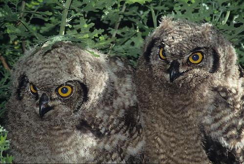 Spotted Eagle-Owl, sub-adults near nesting area.