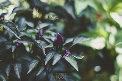IMG_3379 (WahidaSamsuddin) Tags: morning green nature canon fun 50mm mood purple bright outdoor calm pop malaysia f18 canoneos digitalphoto terengganu malaysianphotographer adobelightroom femalephotographer 550d telukketapang terengganuphotographer wahidasamsuddin