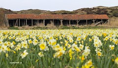 Daffodils and Barn at Texel. #Texel #daffodil #barn #shelter #schuur #narcis #flowers #bloemen #texels #field #veld #nature #natuur #justin #sinner #pictures #wadden #waddeneiland #amazing #buy #photo #foto #duinen #dunes #strand #beach #Canon #sigma (JustinSinner.nl) Tags: pictures flowers justin beach nature field strand barn canon photo wadden waddeneiland amazing foto dunes natuur sigma daffodil buy shelter veld duinen sinner daffodils bloemen texel narcis schuur texels
