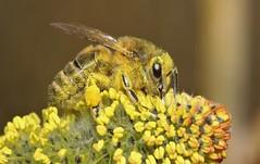 Spring (ashperkins) Tags: macro closeup spring bee catkin pollen honeybee pussywillow apis signsofspring salix northwales canonefs60mmmacro llanfairfechan bbcwalesnature ashperkins canoneos750d