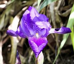#flor #morada (albis2191) Tags: flor morada