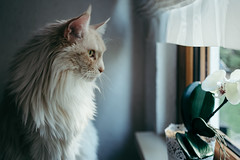 The Watcher (camerue) Tags: pet animal cat indoor mainecoon leicaq vscofilter