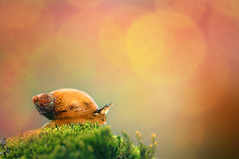 These dreams (S'uhas [ BAT out of HELL ]) Tags: macro nature bokeh snail bangladesh gardensnail nikonmicro105mmf28 nikond300 arifgraphy