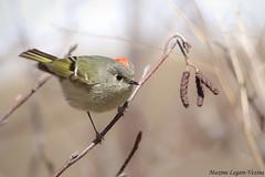 Roitelet  couronne rubis (Maxime Legare-Vezina) Tags: wild bird nature fauna canon wildlife oiseau faune biodiversite