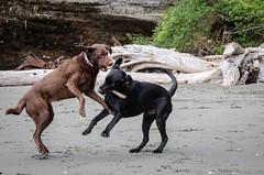 China Beach-3464 (mariskar) Tags: dog canada beach dogs nature beauty vancouverisland labs pacificnorthwest labradorretriever chinabeach westcoast pnw islandlife islandliving explorebcexplorecanada westcoastbeastcoast beastiebuddies