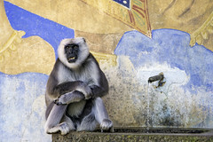 Male langur on the fountain (Tambako the Jaguar) Tags: male fountain wall germany zoo monkey cool nikon sitting decoration hannover resting hanover primate langur d4