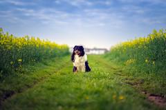 Nerved (Bokehschtig (busy)) Tags: dog green grass f14 sony feld 85mm himmel canine aussie australianshepherd raps a7 feldweg lowpov sonya7 fe8514