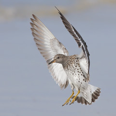 Surfbird (bmse) Tags: california county orange canon landing l f56 salah 400mm surfbird wingsinmotion 7d2 bmse baazizi