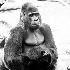 Oscar Jonesy (Thomas Hawk) Tags: sanfrancisco california bw usa america zoo monkey unitedstates gorilla fav50 unitedstatesofamerica sanfranciscozoo fav10 fav25 oscarjonesy
