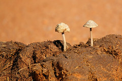 elephant dung: a Gold Mine (tdwrsa) Tags: elephant mushroom krugerpark canoneos70d tamronsp150600mmf563divcusda011