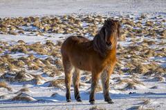cheveaux (9a) (OliPhil_997) Tags: horses iceland islande cheveaux