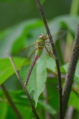 Immature Common Green Darner (ajblake05) Tags: canada dragonfly britishcolumbia insects northamerica coquitlam immature odonata lowermainland aeshnidae greatervancouver hexapoda commongreendarner anaxjunius minnekhadaregionalpark gallery160429