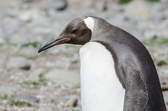 Feeling a little off colour (Tim Melling) Tags: orange colour georgia penguin king south variant lacking aberration aptenodytespatagonicus timmelling