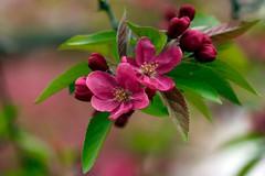 Pinker  Holzapfel (AvesAg) Tags: pink berlin canon zoo blossom rosa blte zooberlin rosaceae holzapfel malussylvestris europeanwildapple europischerwildapfel