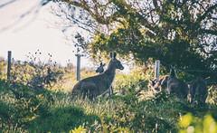"""follow the trail"" (lucidddreamin') Tags: rural australia victoria kangaroo roo goldenhour bushrangersbay"