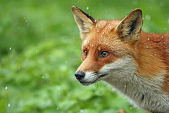 A Red Fox. (Vulpes vulpes). (Spenature 2.) Tags: wow leevalley