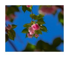 Cherry blossom at dawn (sorrellbruce) Tags: morning flowers trees colors morninglight spring poem fuji dof details clarity textures flowering framing consolation clearbluesky lr6 doublecherryblossom photoninja fujinon90mm johnodonohue bennacht fujixt1 thomasfitzgeraldsharpeningpresets