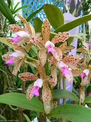 Cattleya guttata (Sylvio-Orqudeas) Tags: flowers flores orchids orchidaceae cattleya species orqudeas guttata espcies