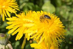 Obrera afanada en su trabajo (Photo Valdueza) Tags: naturaleza flores macro amarillo abeja diente dientedeleon