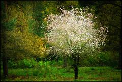 """""""Spring tree"""" (na_photographs) Tags: tree nature spring mai baum springtime frhling blhen"""