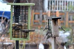 Flock of American bushtits-004 (fyberduck) Tags: winter oregon portland birdfeeder psaltriparusminimus americanbushtit