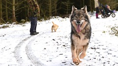 Arc - running back to me (vintage_recorders) Tags: dog snow happy wolf shot action malamute gsd