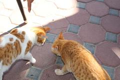 IMG_4279 East Coast tour - Fujairah - Sandy Beach Resort - hungry restaurant cats (drayy) Tags: cats cat restaurant uae sharjah eastcoast fujairah thebiggestgroupwithonlycats