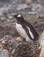 1998_01_13_17 (petermit2) Tags: ice penguin gentoo egg antarctica chick antarctic paradisebay gentoopenguin antarcticpeninsula paradiseharbour grahamland