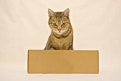 George's Photo Shoot (Photography By Haylea) Tags: cats cute cat pose photo shoot cross sweet box kitty siamese half kitties breed