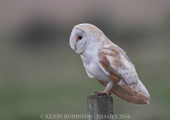 _DM20539 (cruso2) Tags: bird barn post alba owl lincs tyto a