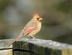 Female Cardinal (jtbcalico) Tags: bird nature female outdoors cardinal