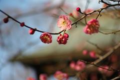 DP3M6813r (ken_sw) Tags: spring sigma apricot foveon dp3merrill