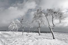 Samen sterk tot de laatste tak - strong together till the last branch - forte ensemble jusqu'  la dernire branche (Bart Michiels | www.michielsbart.be) Tags: winter snow forest landscape hiver sneeuw neige paysage bos fort landschap