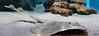 Acuario de Almuñécar-3781 (GonzalezNovo) Tags: raya acuario mediterráneo acuarium photowalkmelilla pwmelilla acuariodealmuñécar