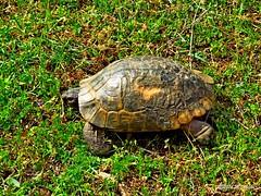 Anamur rende Kaplumbaa (Foto Mesut) Tags: hayvan kaplumbaa