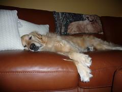 Sunny 5/52 (Lianne (calobs)) Tags: dogs for golden retriever weeks 52