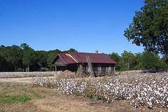Cotton (Kev Gregory (General)) Tags: usa field america ga georgia state farm farming shed cotton crop bud gregory kev ramshackle