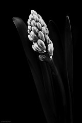 Hyazinthe (rainerneumann831) Tags: blackwhite pflanze blte hyazinthe focusstacking