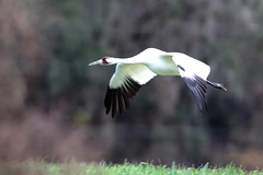 Coming in to Roost (geno k) Tags: explore 1109 whoopingcrane operationmigration comingintoroost whoopingcraneinflight 262016 operationmigrationclassof2009