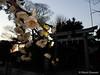 Prunus mume f. pendula (Shiori Hosomi) Tags: flowers plants japan tokyo february 花 植物 prunus 梅 rosales 2016 rosaceae ウメ バラ科 薔薇科 枝垂れ梅 葛飾区 シダレウメ サクラ属 枝垂梅 東京23区 薔薇目 バラ目 桜属